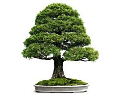 beautiful bonsai plant