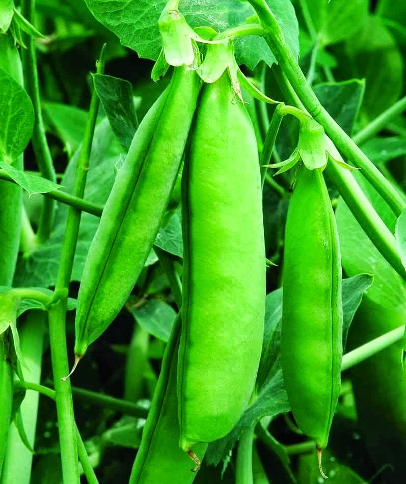 Growing Garden Peas: Peas: A Growing Guide