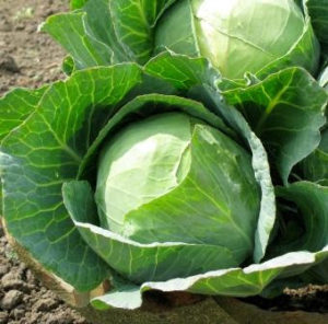 cabbage growing tips