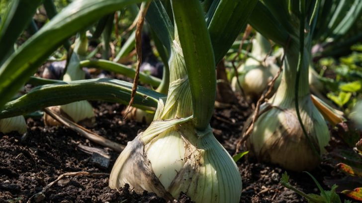 Onion growing tips