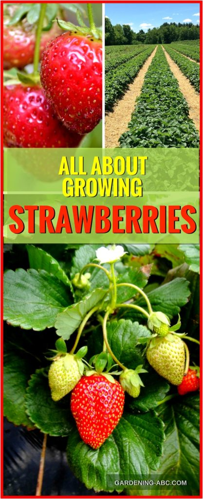 how to grow strawberry plants
