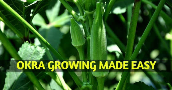 Okra Growing Tips