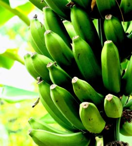 growing banana fruit