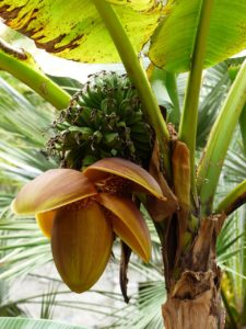 how to grow banana tree