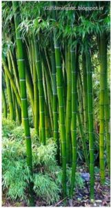 how to grow bamboo plant