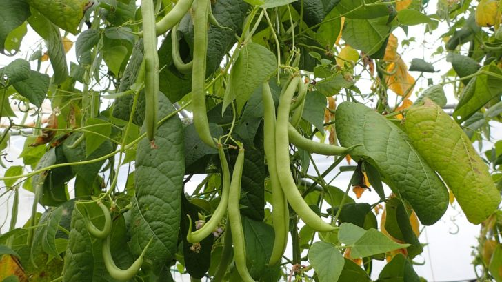 Beans for vertical garden