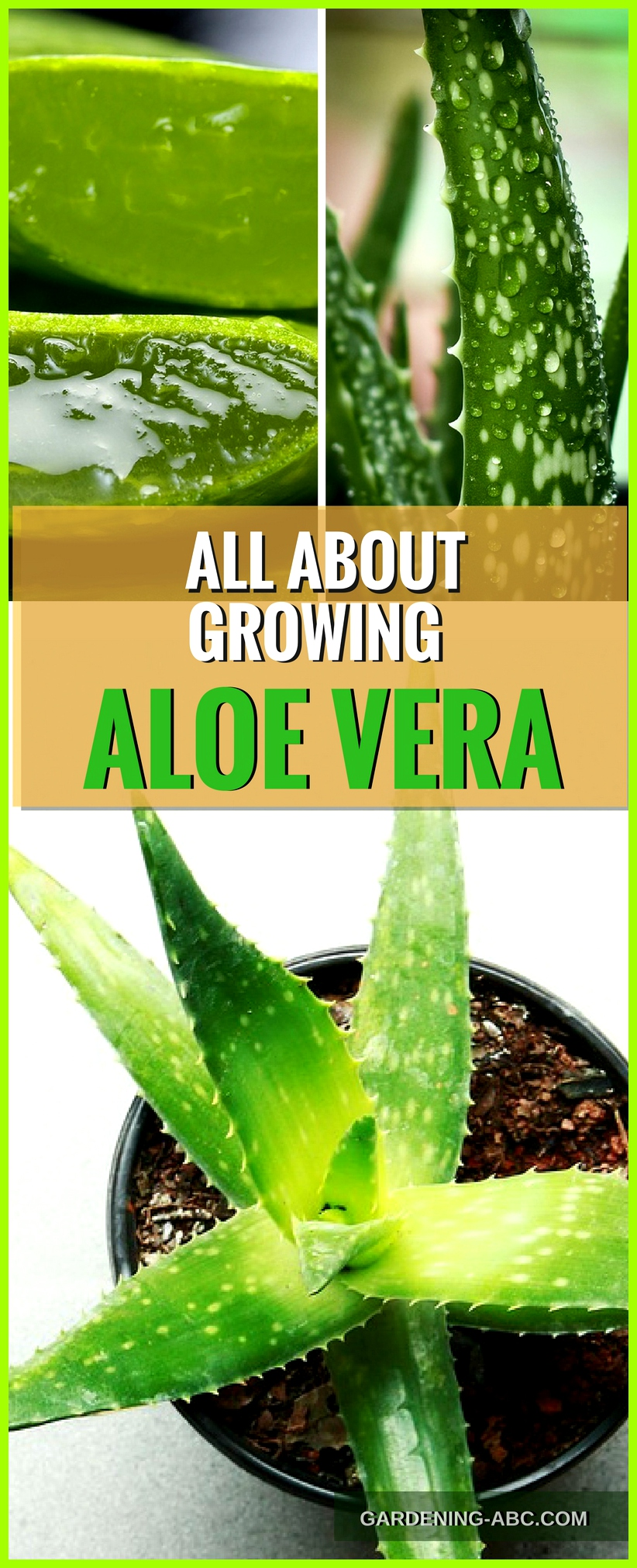 how to grow aloe vera plant
