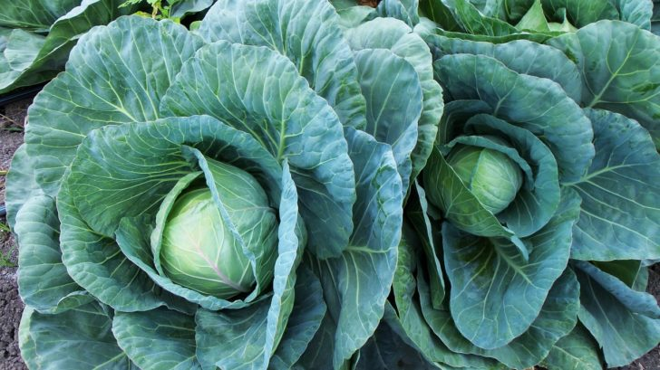 cabbage growing faqs
