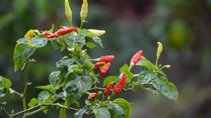 how to grow hot-chilis