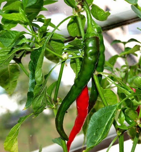 how to grow chilis