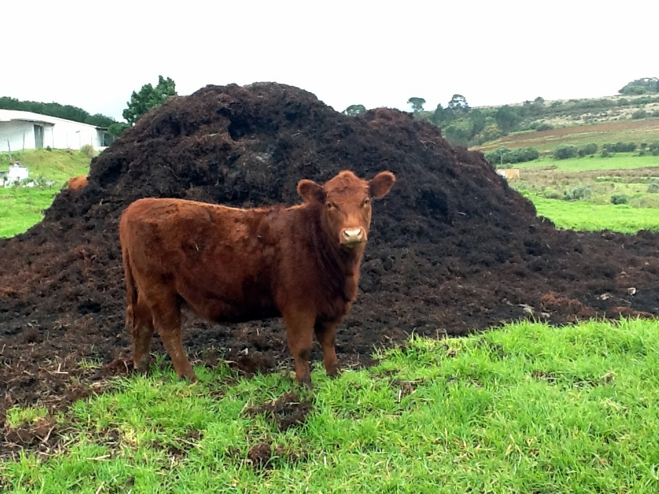 cow manure for your garden