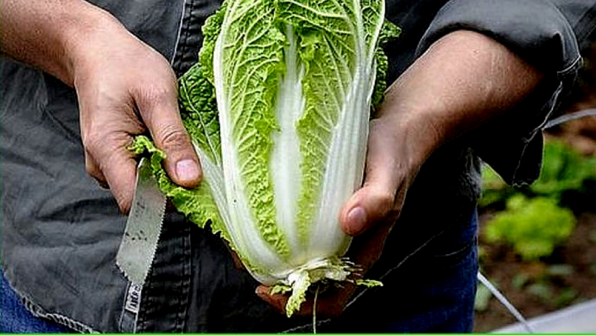 pruning cabbage