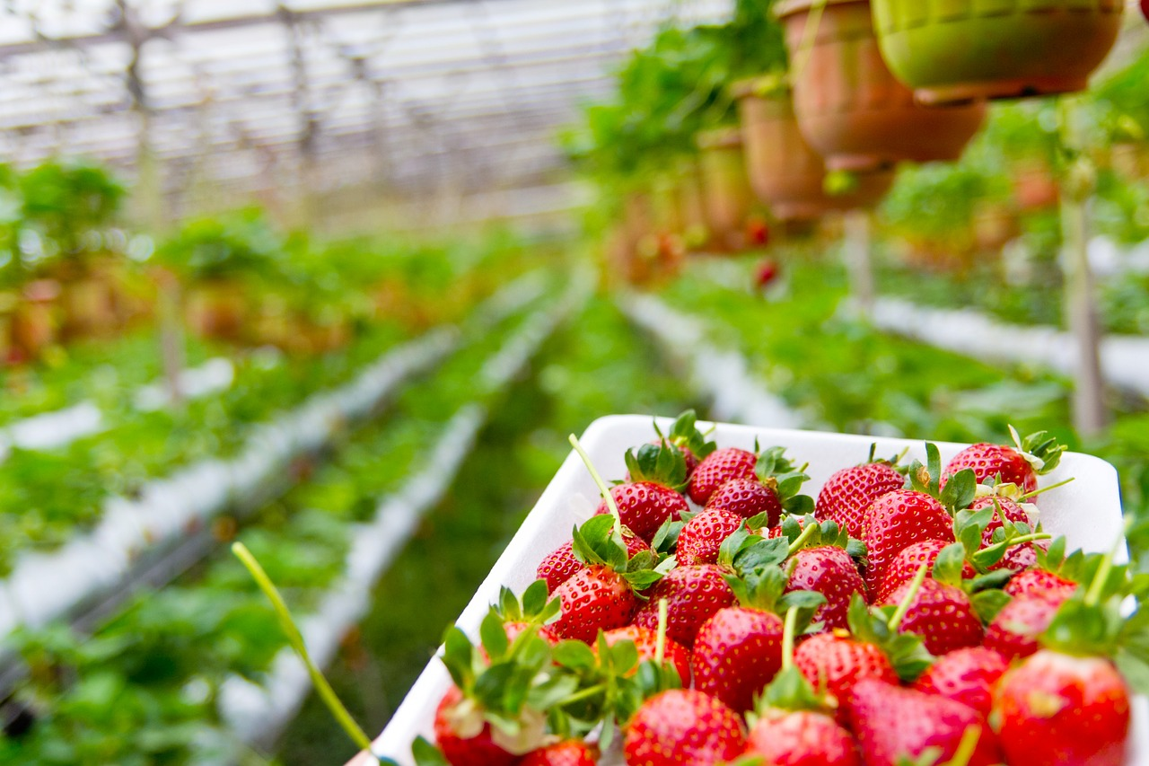 Growing Strawberry in Coco coir