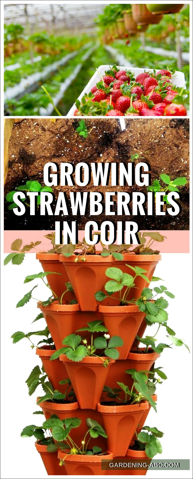 growing strawberry in coir