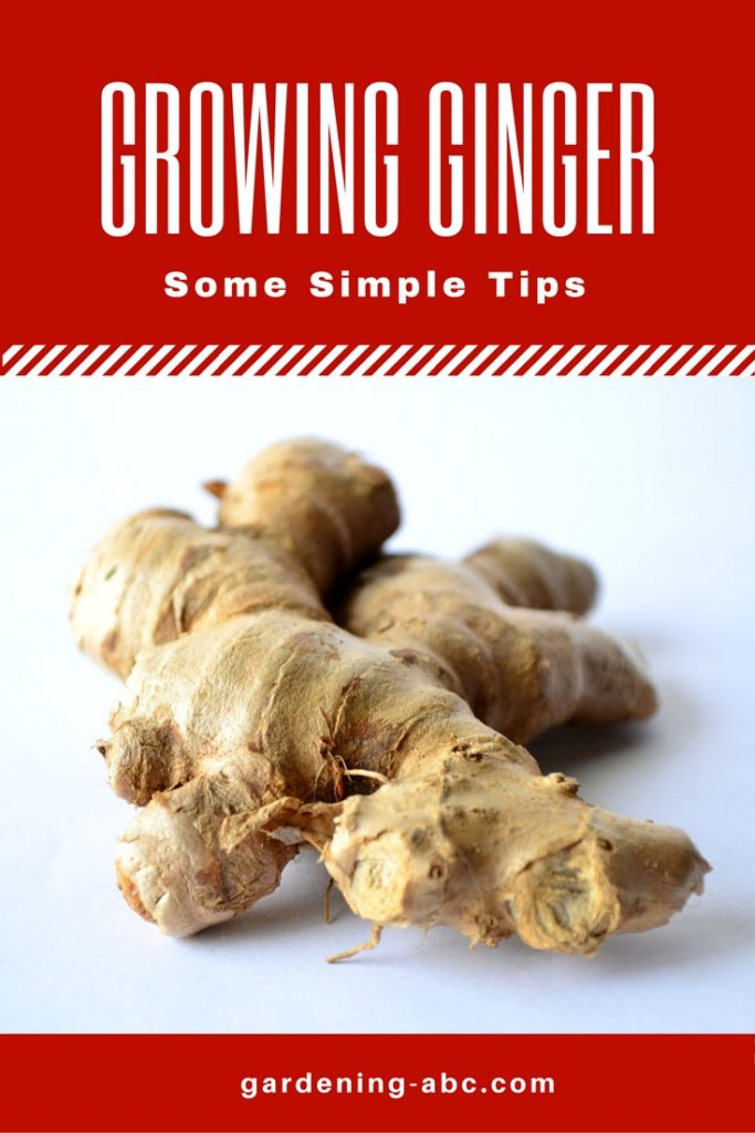 how to grow ginger roots
