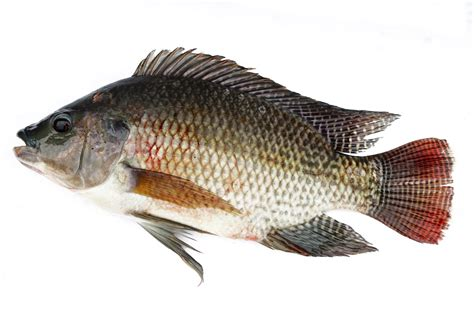 Tilapia best aquaponics fish