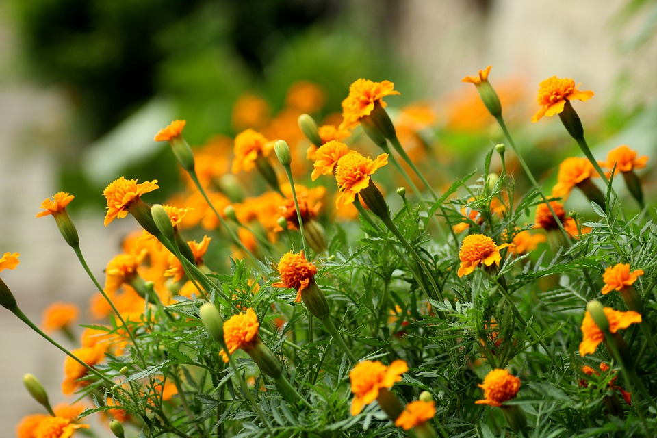 edible flowers for eating marigold