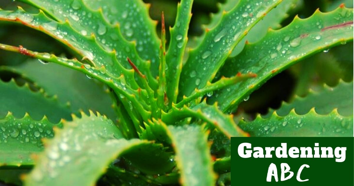 How To Grow Aloe Vera Plant Here Are Some Useful Aloe Growing Tips